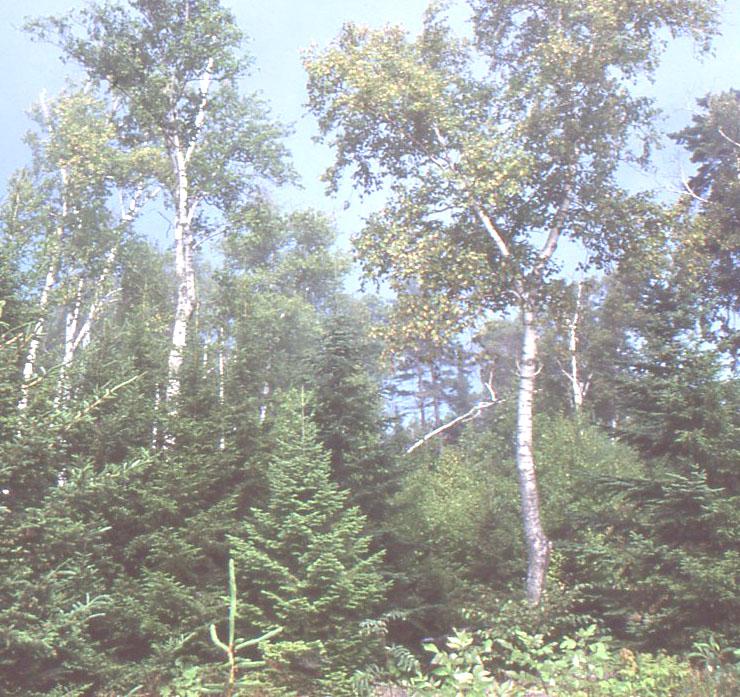 forestlightMaine